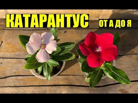 Катарантус - выращивание, уход.