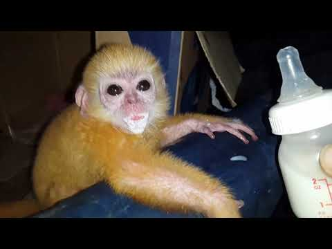 Golden feathered apes in aceh indonesia