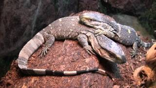 black throat monitors for sale buy at big apple pet with same day shipping