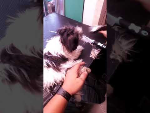 Cleaning of paws (shih tzu grooming)