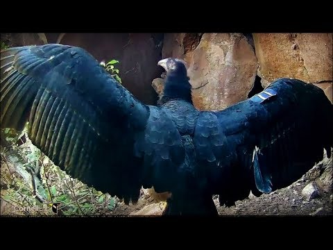Devil's Gate Condor Cam ~ Condor Chick #871 Showing Off Her Beautiful Wings 10.19.17