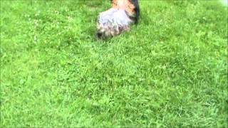 Staffordshire Bull Terrier & Yorkshire Terrier Ii