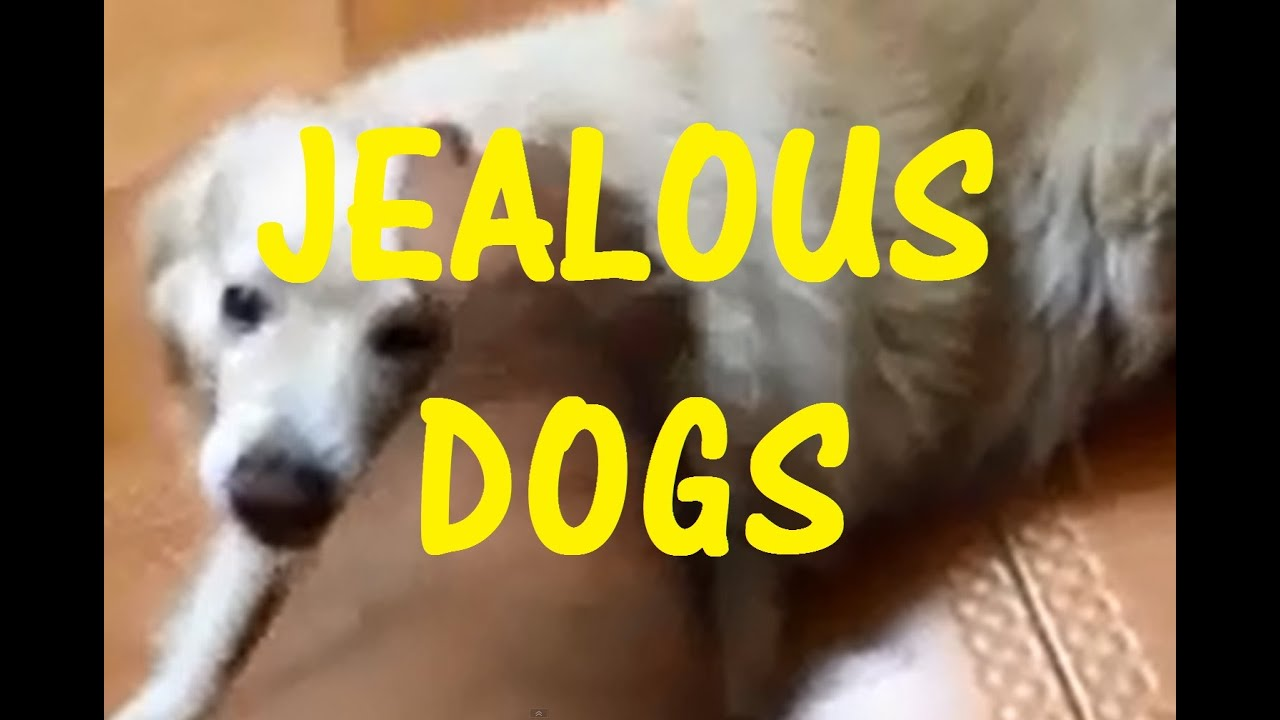 Funny Jealous Dogs Compilation Dogs Need Love Too YouTube - 26 funny photos of guilty dogs