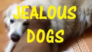 Funny Jealous Dogs Compilation - Dogs Need Love Too!