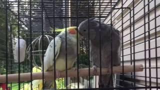 Valkparkietjes Kiki en Flupke, zwaar verliefd.