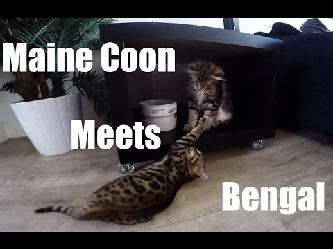 Funny Bengal and Maine Coon KITTEN MEOWING ATTACK!