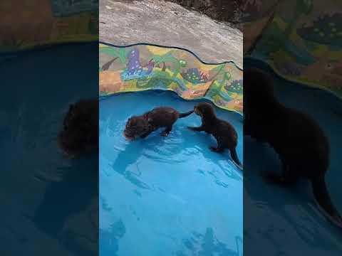 nanootterkampung #otterbelajarrenang #otterjinak otter belajar renang pertamakali harus ditemani ownernya Hanya ingin....