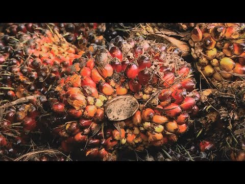 Assignment Asia: Indonesia palm oil plantations