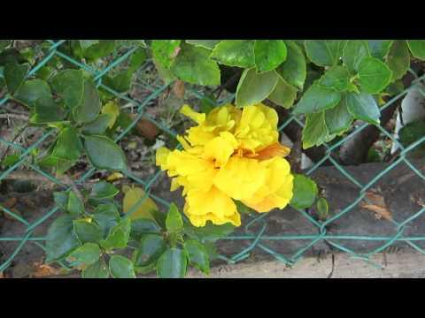 Гибискус жёлтый махровый! Кирьят-Ям.Израиль.