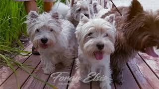 "Вест-хайленд-уайт-терьер питомник  ""ForanElsis"" / west highland white terrier ""ForanElsis"""
