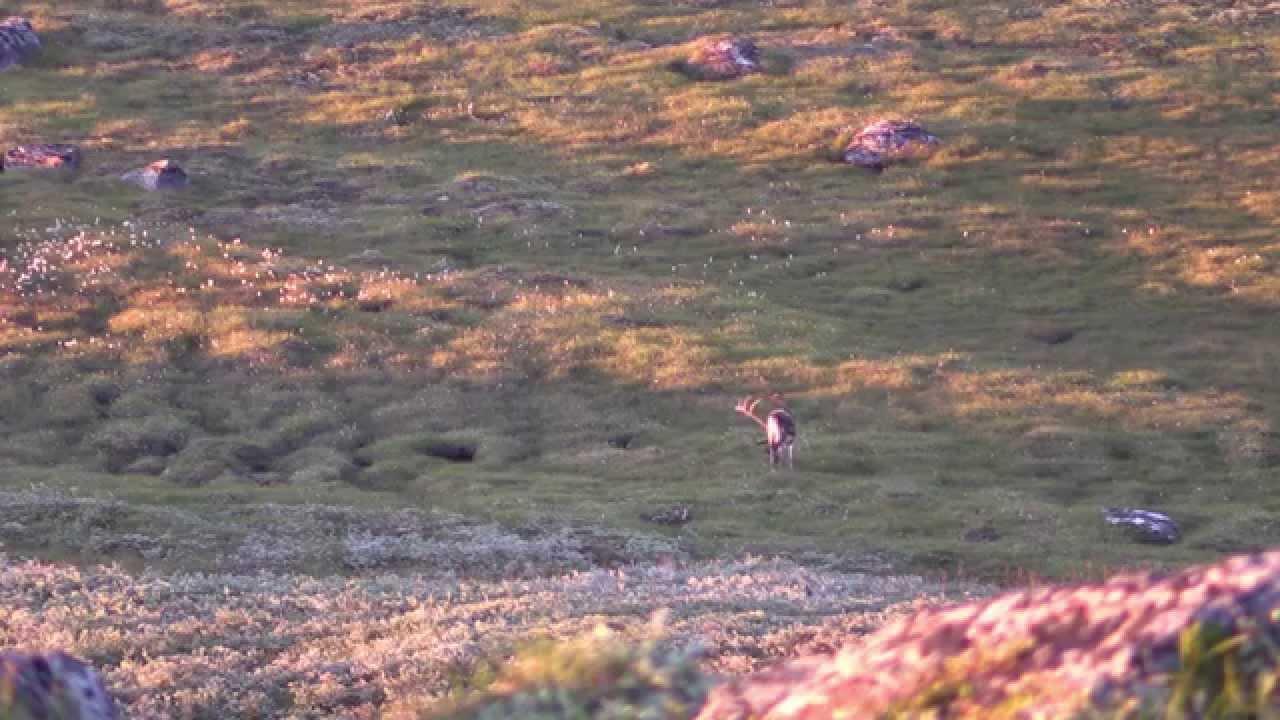 Охота в Гренландии на овцебыка и северного оленя с луком и стрелами 3 серия