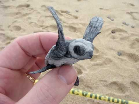 baby leatherback turtle release   youtube