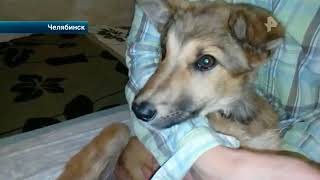 В Челябинске зоозащитники обвиняют владелицу приюта для собак-инвалидов