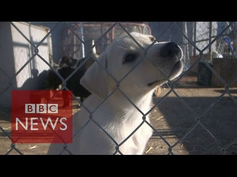 BBC Pop Up: At home with Canada's sled dogs - BBC News