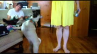 Pug Walks On Hind Legs - Here's Mosie! Pug Reality Tv
