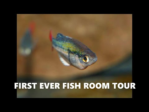 FIRST FISH ROOM TOUR - So Many Rare Rainbowfish!