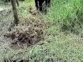 ESTRELLA AFRICANA - SIEMBRA