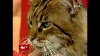 Кошки породы Мэйн Кун