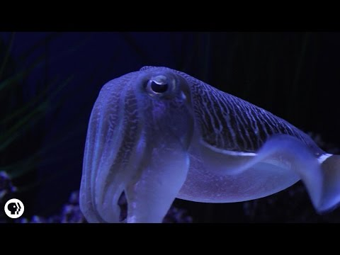 Cuttlefish: Disco Camouflage Chameleons Of The Sea