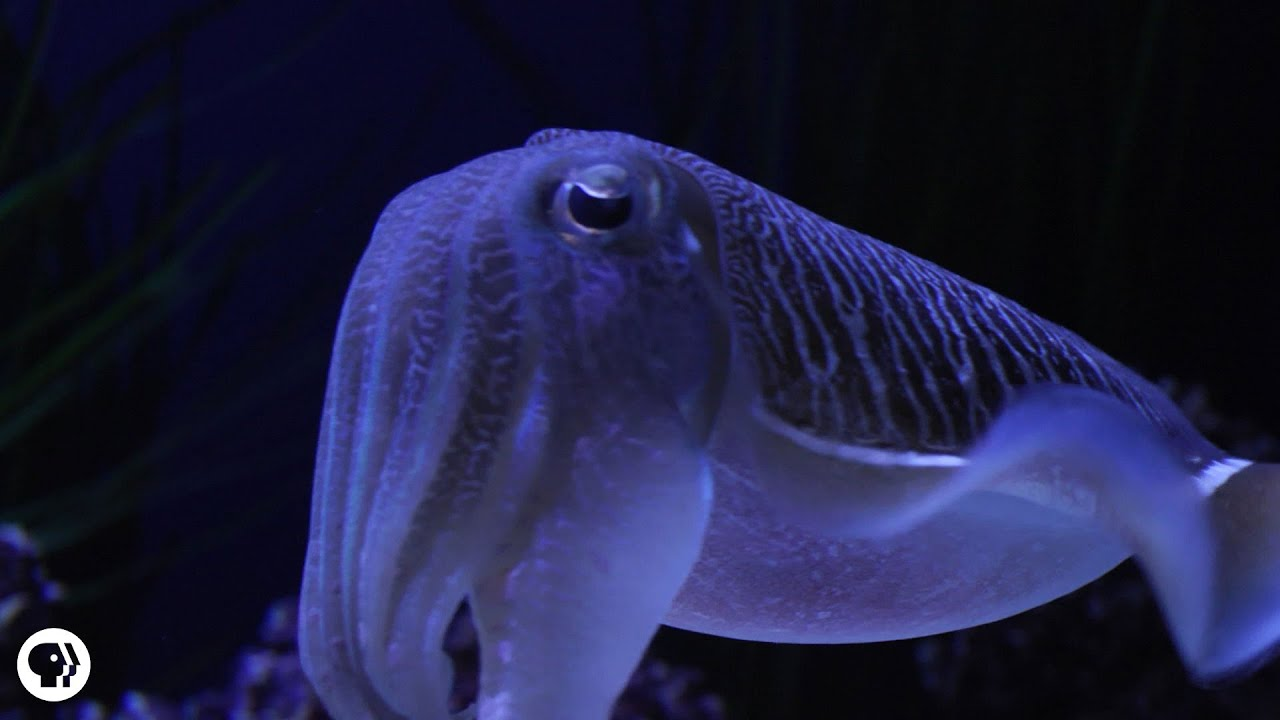 Cuttlefish: Tentacles In Disguise - YouTube