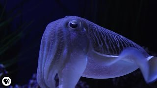 Cuttlefish: Tentacles In Disguise
