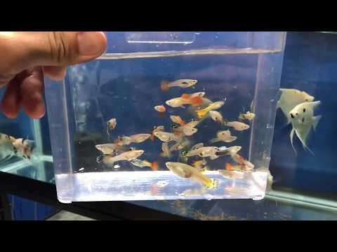 Selling Guppies AND How To Bag Your Fish