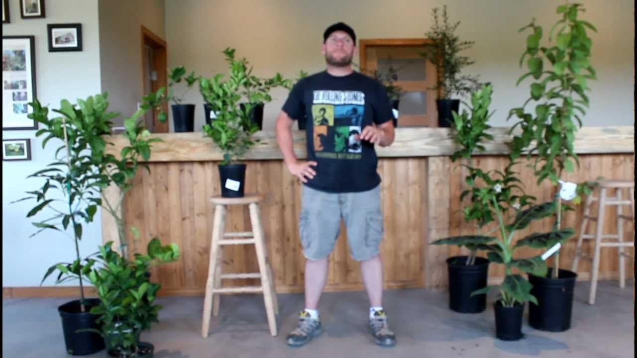 Citrus and Other Indoor Fruit Trees - YouTube