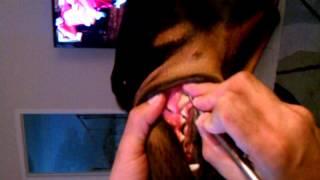 Doberman Pinscher Teeth Cleaning