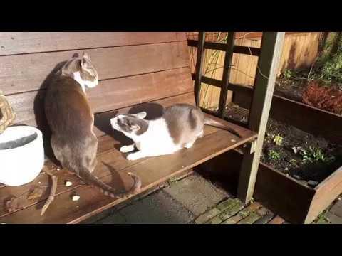 Chipper & Momo, our oriental shorthair cats 2019E01