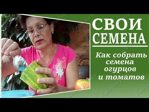 Как   собрать семена  огурцов и помидор  самому .   Маленькие тонкости