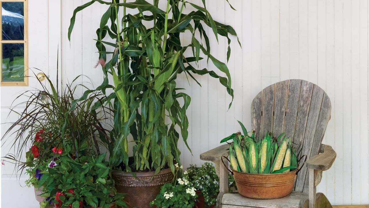 Superb The First Container Sweet Corn   On Deck   YouTube