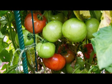 Growing Tomatoes In Containers - Best Tips & Advice!