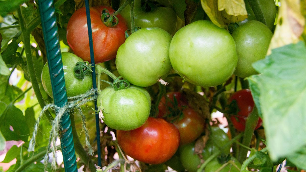 also growing tomatoes in containers best tips  advice rh youtube