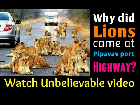 Why did Lions came at Pipavav port Highway? Watch Asiatic lions Unbelievable video from Gir forest