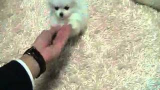 Micro Teacup White Pomeranian Puppies ~ Ms Puppy Connection
