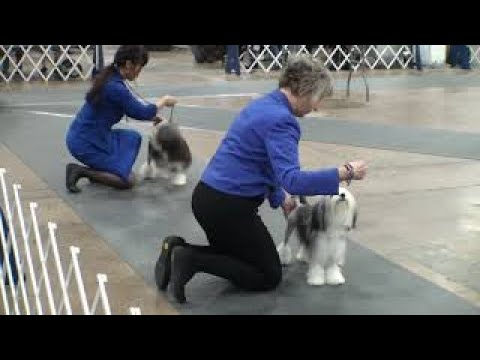 2018-11-17 Philadelphia Kennel Club Lowchen Breed Judging
