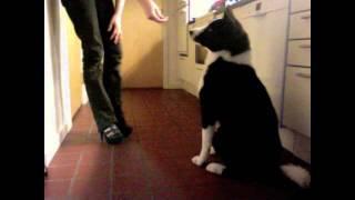 Best Karelian Bear Dog