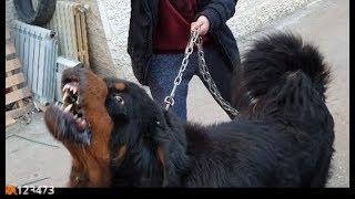 كلب التبتي الاغلى بالعالم الذي قرر صاحبه الاستغناء عنه كلفه 30الف دولار يريد استرجاعه مع جمال