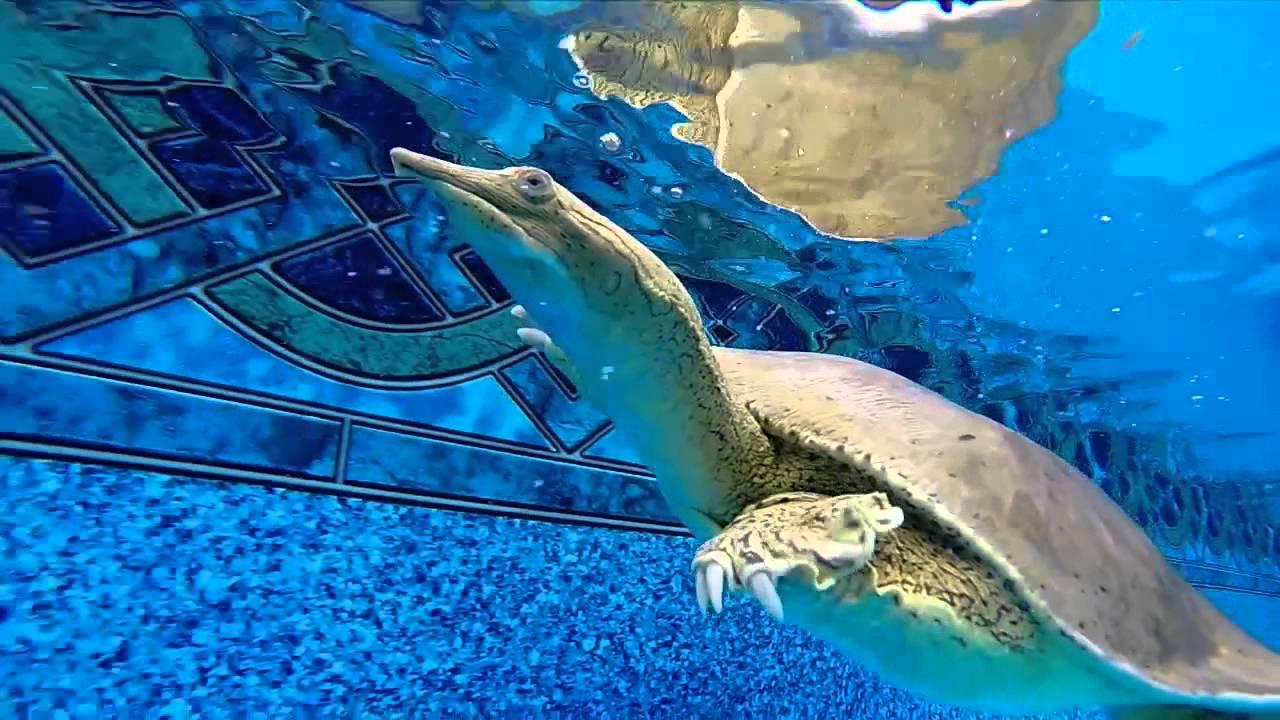 Pet Softshell Turtle Swimming Pool Bites Gopro Camera Youtube
