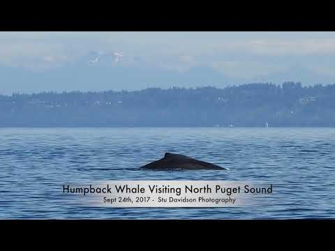 Humpback Whale visiting North Puget Sound - Sept. 24th, 2017