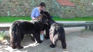Walk with Newfoundland dogs by the castle/Trakai/