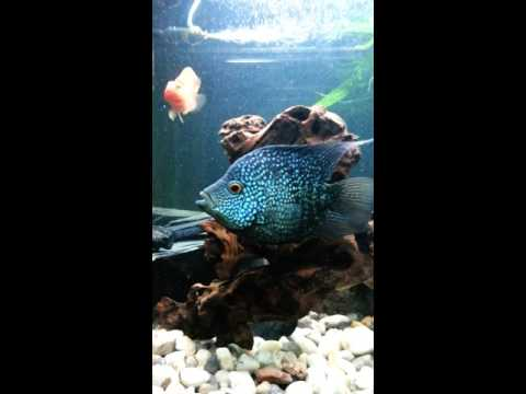 Green Texas Cichlid , Red Parrot Fish , Andinoacara rivulatus by TWARDY