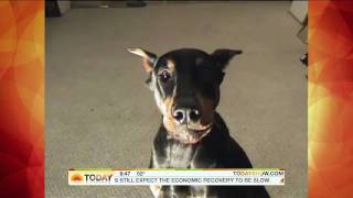 """tom's Diner"" Remix - Fluffy The Singing Doberman Pinscher On The Today Show"