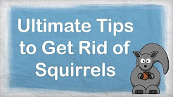 How to get rid of squirrels   ULTIMATE Repellent for Getting Rid of Squirrels   How to Repel Pests