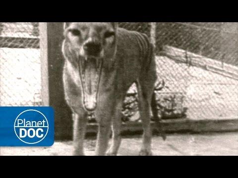 Tasmania | El Tigre de Tasmania (Tilacino)