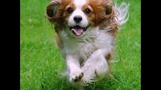 ルーツは、スペイン産とフランス産の鳥猟犬といわれています。英国のチ...