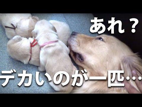 【生後11日】すでに仔犬毎に個性が出てきています
