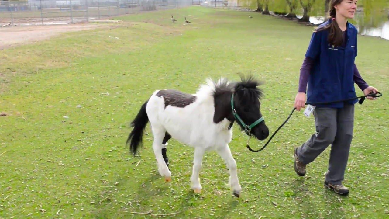 Mini Horse Gets A Shine On At Csus Veterinary Teaching Hospital