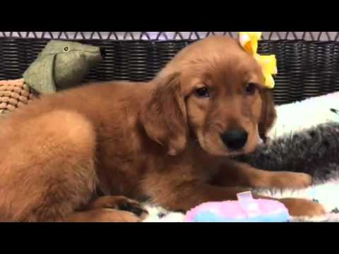 Beautiful Red Golden Retriever Youtube