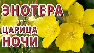 НЕВЕРОЯТНО 🌼Энотера рождение цветка Прямой эфир // красивые цветы - ароматы / ночная свеча видео 4к